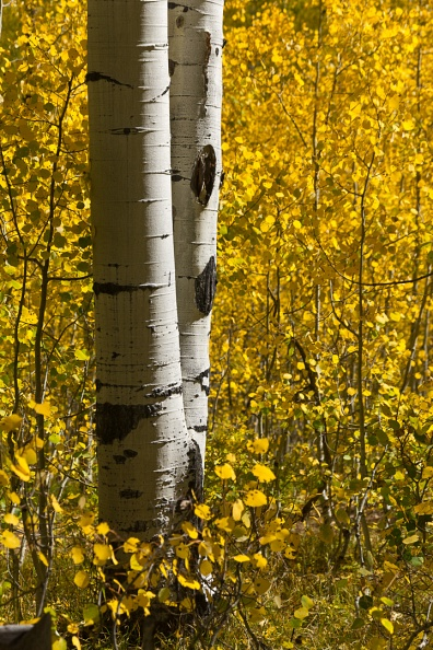 Autumn Aspen Pair.jpg