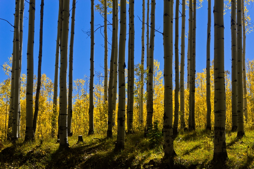 Backlit Forest near Kebler Pass.jpg