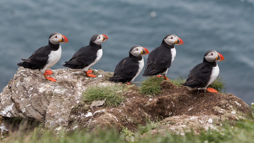 Puffin Parade.jpg