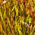 Bright Autumn Grasses.jpg