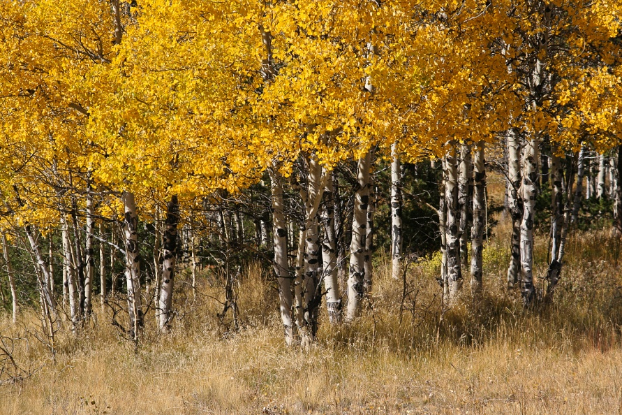 Autumn Aspen Grove.jpg