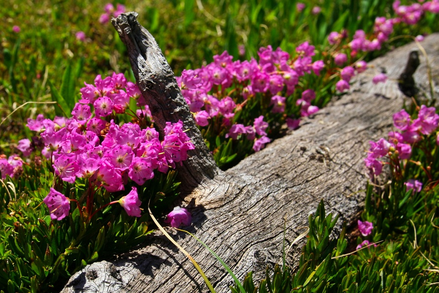 Pink Flowers on a Log.jpg